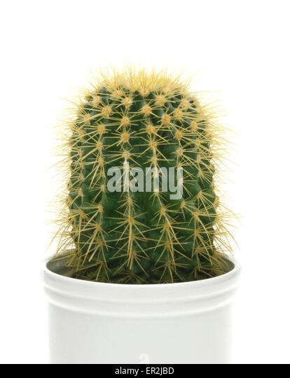 Schwiegermutterstuhl stock photos schwiegermutterstuhl stock images alamy - Kaktus zimmerpflanze ...