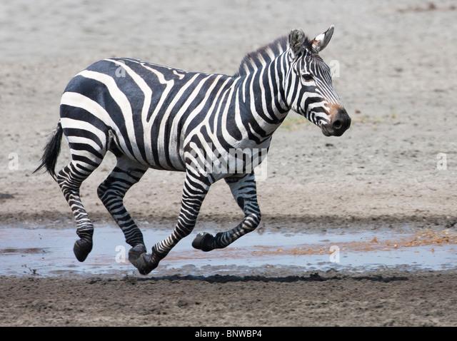 zebra running - photo #31