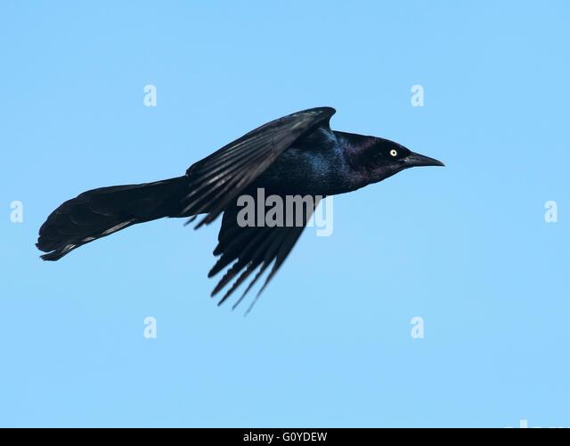Blackbird Flight Stock Photos & Blackbird Flight Stock ...  Blackbird Fligh...