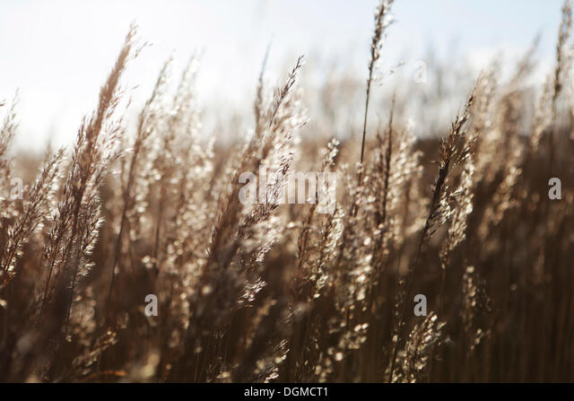 Common Reed Phragmites Communis Stock Photos & Common Reed ...