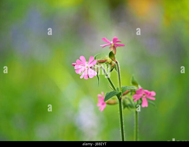 Tiny pink flowers stock photos tiny pink flowers stock images alamy tiny pink flowers of primula farinosa birds eye primrose against diffused background of wildflower mightylinksfo