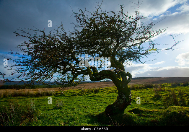 Hawthorn Tree Stock Photos Hawthorn Tree Stock Images Alamy
