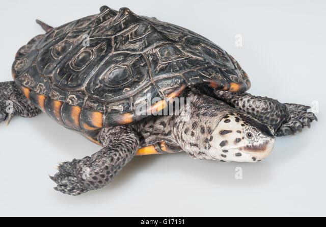 Texas diamondback terrapin, Malaclemys terrapin littoralis; native to ...