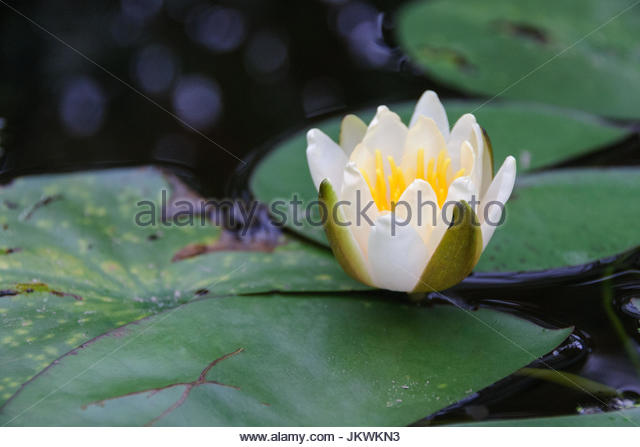 Edible flower with lotus root stock photos edible flower with american white waterlilyfragrant water lilybeaver root fragrant white water lily mightylinksfo