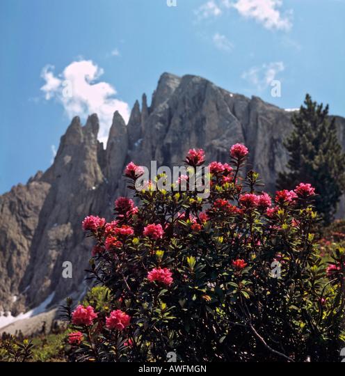alpine pflanzen stock photos alpine pflanzen stock images alamy. Black Bedroom Furniture Sets. Home Design Ideas