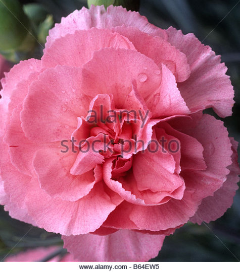 Old-Fashioned Pinks - Dianthus - Select Seeds 75