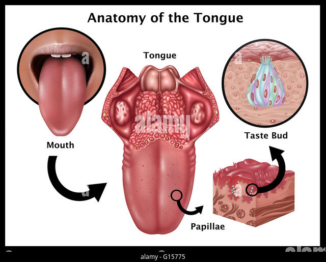 Base of the tongue anatomy