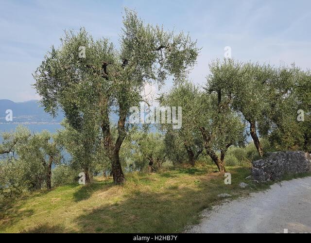 olivenbaum olea europaea stock photos olivenbaum olea europaea stock images alamy. Black Bedroom Furniture Sets. Home Design Ideas