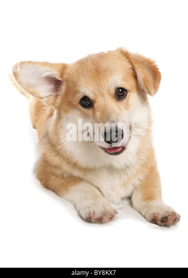 quizzical dog stock photos  u0026 quizzical dog stock images