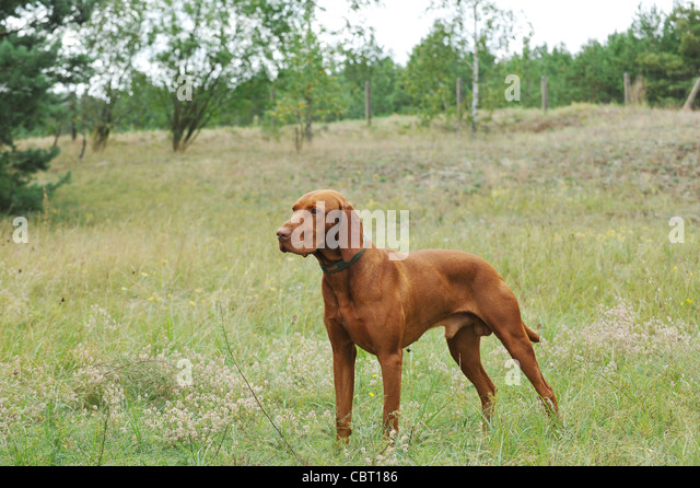 Pointer Hunt Stock Photos Amp Pointer Hunt Stock Images Alamy