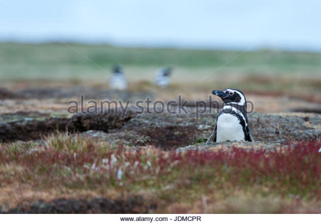 Magellanic penguin, Spheniscus magellanicus, at the entrance of its burrow. - Stock Image