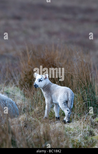 blackface lamb stock photos amp blackface lamb stock images