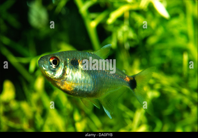 Head-and-tail light Tetra Hemigrammus ocellifer, Characidae, South ...