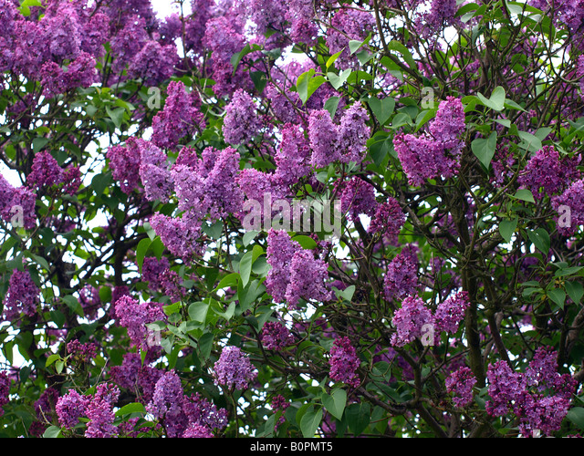 how to draw a lilac tree