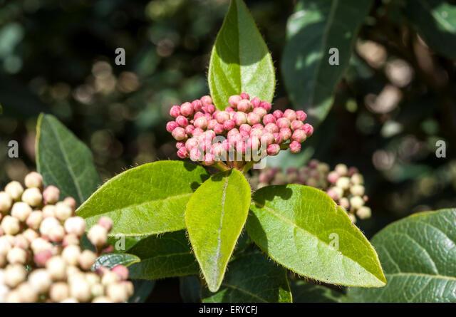 leaves and flowers of laurustinus viburnum tinus stock image