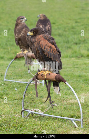 how to catch a hawk for falconry