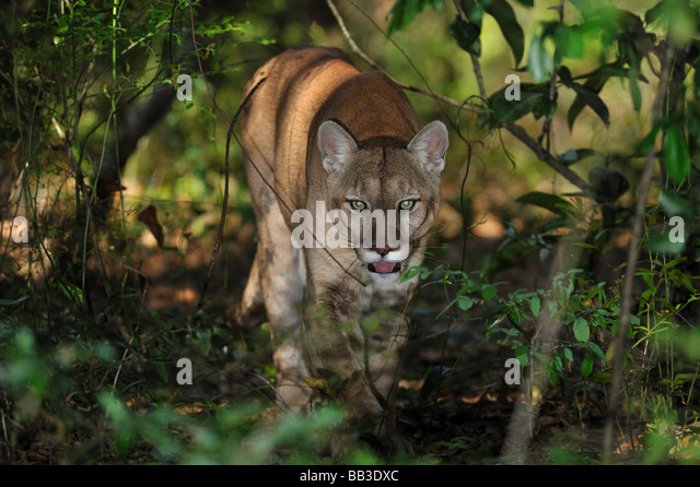 Cougar Hunting In Florida