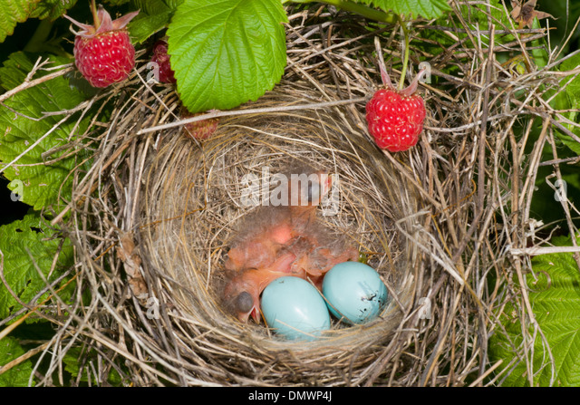 Robin Egg Stock Photos Amp Robin Egg Stock Images Alamy