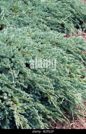 Juniperus squamata stock photos juniperus squamata stock images alamy - Juniperus squamata blue carpet ...