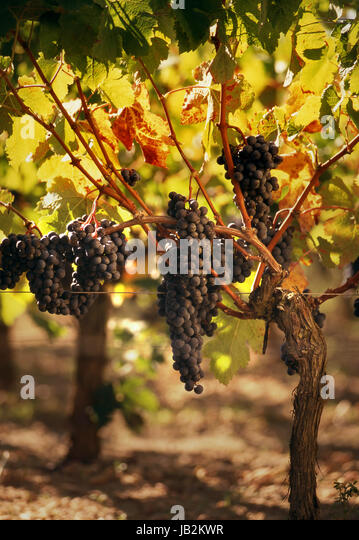 Ripe Merlot grapes lit by warm late sunshine, in vineyard of Vieux Château Certan, awaiting imminent harvest - Stock Image