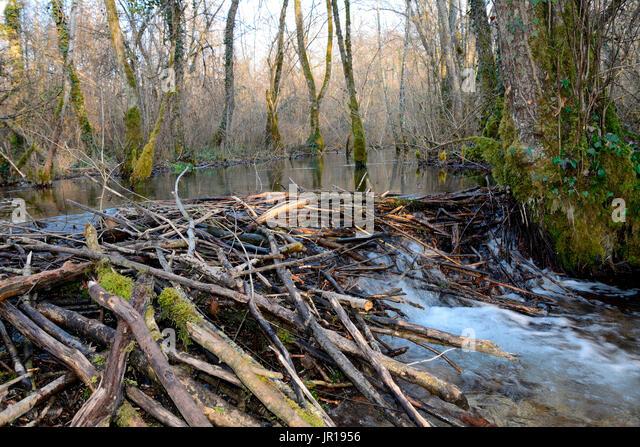 Beavers building a dam