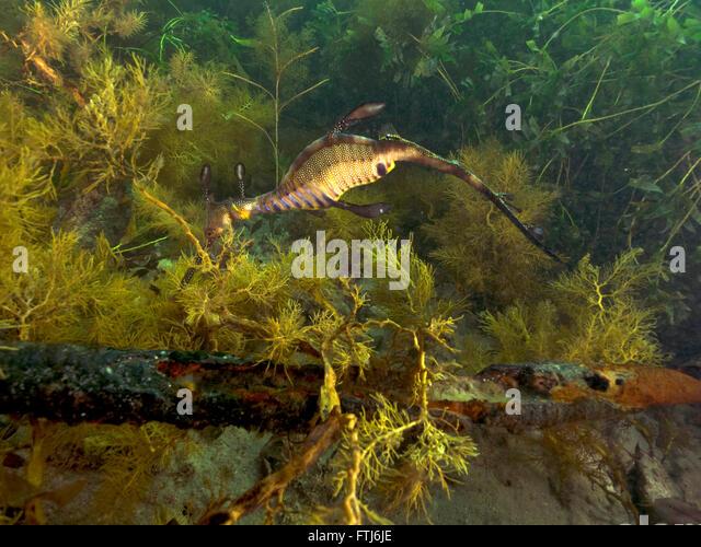 Weedy Sea Dragon Stock Photos & Weedy Sea Dragon Stock ...