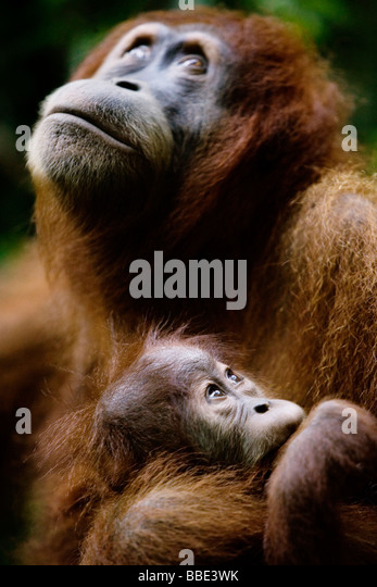 orangutan rehabilitation in sumatra essay Volunteer with orangutans and you will contribute to the rescue, rehabilitation, and release of injured orangutans, as well as working to create a sustainable living environment to ensure their future health.