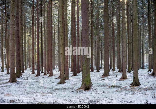 spruce tree snow - photo #34