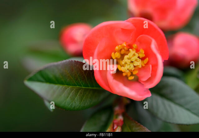 soft apricot coloured bloom of a japanese quince flower chaenomeles superba stock - Quince Flower