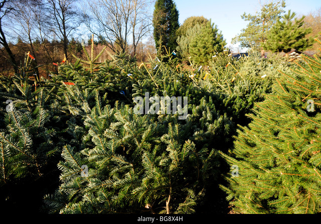 real christmas trees cut down and ready for sale stock image - Real Christmas Trees For Sale