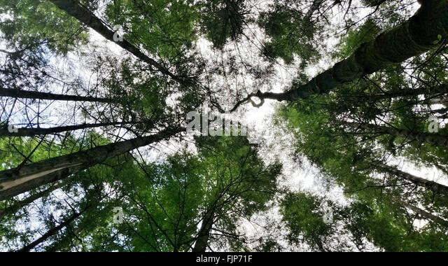 Low Angle View Of Canopy Trees In Forest - Stock Image & Tall Canopy Trees Stock Photos u0026 Tall Canopy Trees Stock Images ...