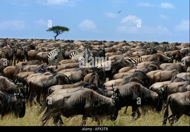 large-herd-of-wildebeest-interspersed-with-zebra-during-the-migration-apx3tr.jpg