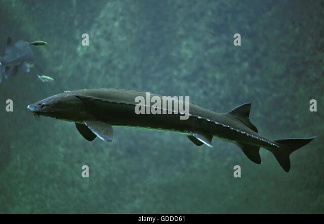 Sturgeon Fish Acipenser Stock Photos & Sturgeon Fish ...