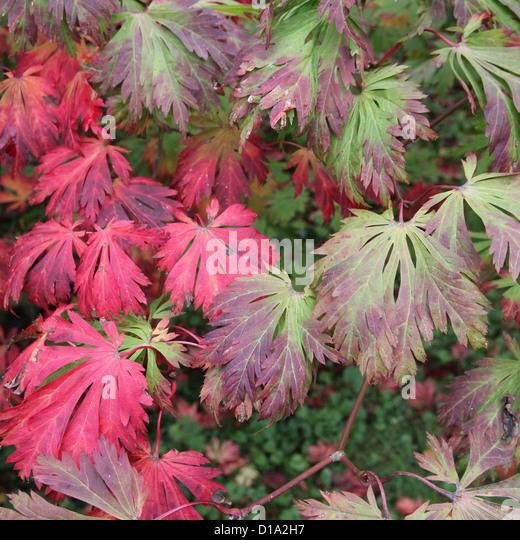 acer japonicum aconitifolium stock photos acer japonicum. Black Bedroom Furniture Sets. Home Design Ideas