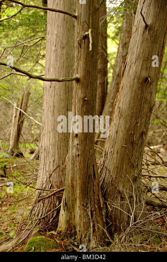 Red Cedar Forest ~ Cedar bark stock photos images alamy