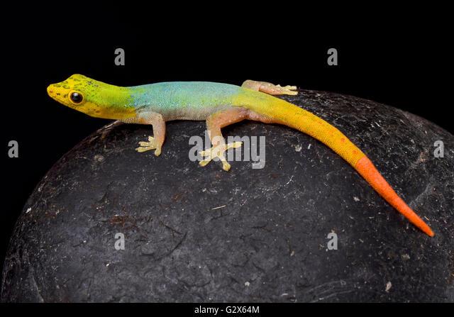 dwarf gecko stock photos amp dwarf gecko stock images   alamy