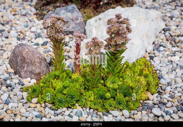 A Flowering Hen And Chickens Plant In A Rock Garden In Winkler, Manitoba,  Canada