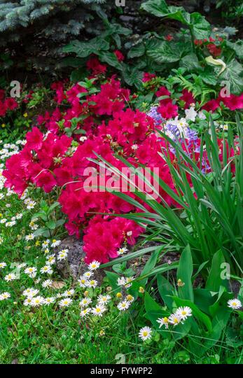 Eden Rose Stock Photos & Eden Rose Stock Images  Alamy # Sunshower Rose_173655