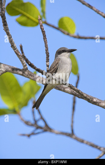 Tyrannus tyrannus stock photos tyrannus tyrannus stock images grey kingbird tyrannus dominicensis stock image thecheapjerseys Image collections