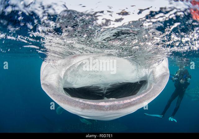 Aninimal Book: Shark Mouth Open Stock Photos & Shark Mouth Open Stock ...
