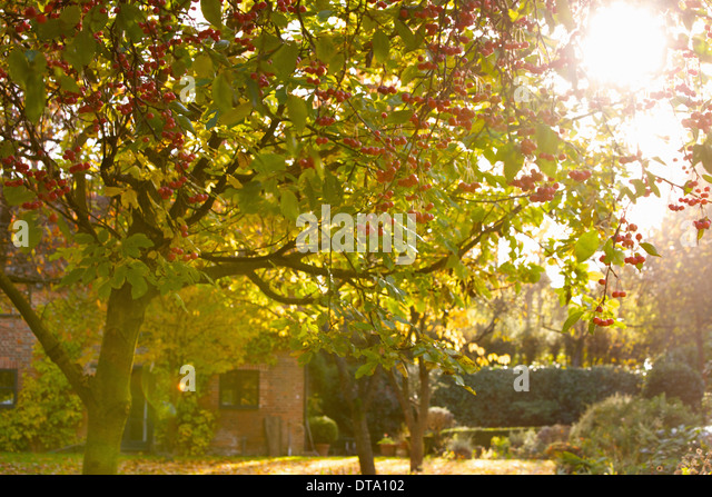 Crab Apple Tree In Autumn Garden   Stock Image