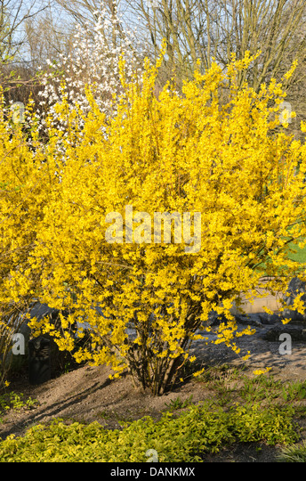 Forsythia stock photos forsythia stock images alamy - Forsythia x intermedia ...