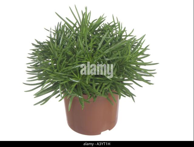 himalaya mountain grass senecio himalaya stock photos. Black Bedroom Furniture Sets. Home Design Ideas
