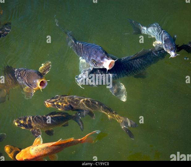 Green carp fish stock photos green carp fish stock for Green koi fish
