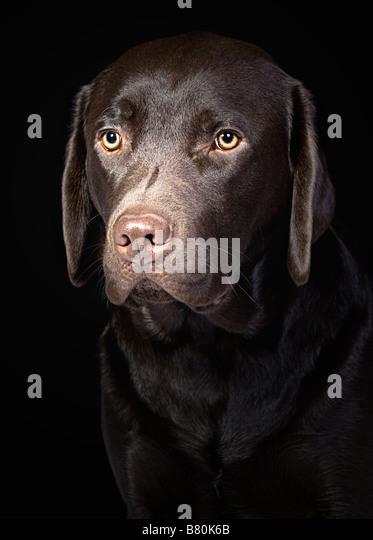 cute chocolate labrador retriever - photo #20
