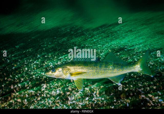 Walleye Stock Photos & Walleye Stock Images - Alamy  Walleye Stock P...