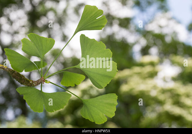 ginko baum stock photos ginko baum stock images alamy. Black Bedroom Furniture Sets. Home Design Ideas