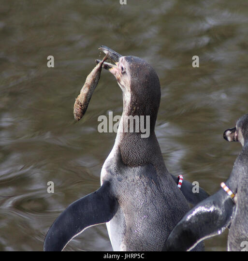 Penguin fish eat stock photos penguin fish eat stock for Penguin and fish