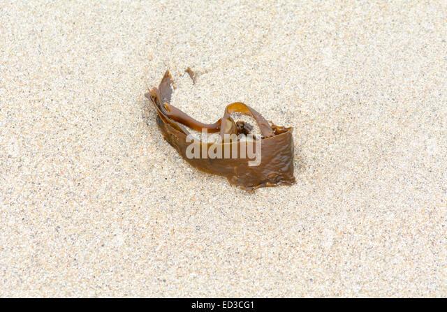 venerupis pullastra worms
