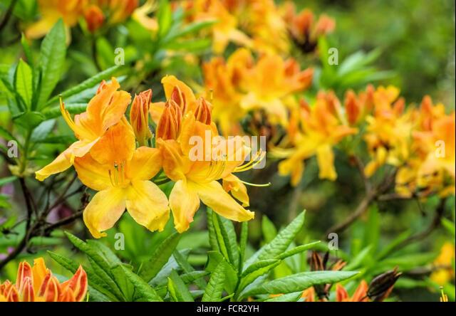 azalea rhododendron yellow orange stock photos azalea. Black Bedroom Furniture Sets. Home Design Ideas